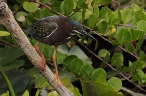 Green Heron Side